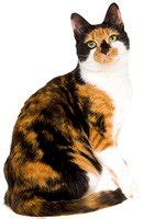 names for calico cats cat names by color cattime