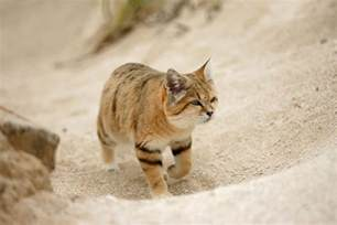elusive arabian sand cat spotted after 10 years