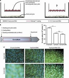 Adapting coculture in vitro models of the blood–brain ...