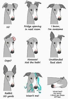 foto de This my friend is a fat italian greyhound photogenic