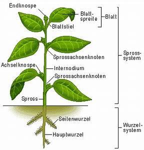 Bau Der Pflanze : aufbau der samenpflanze ~ Lizthompson.info Haus und Dekorationen