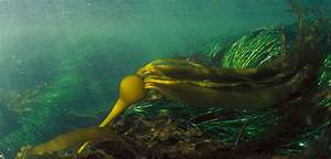 Imploding Kelp