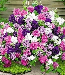 Schöner Garten Shop : h nge petunien viva prachtmix 12 pflanzen pink blau wei violett im mein sch ner garten shop ~ Eleganceandgraceweddings.com Haus und Dekorationen