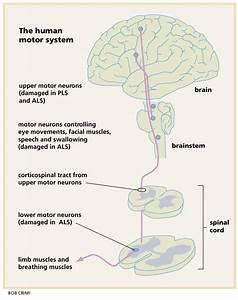 Organization Of The Human Motor System  In Als  Both Upper