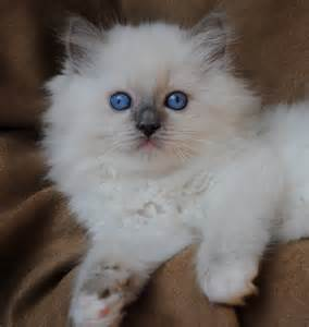 Blue Mitted Ragdoll Cat Kittens