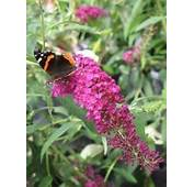 Free Pink Delight Butterfly Bush  Buddleia Perennial