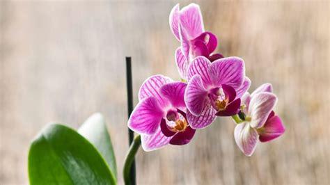 comment entretenir une orchidée entretien orchid 233 e arrosage floraison c 244 t 233 maison