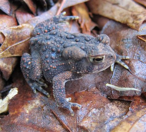american toad frogs  toads  sutton massachusetts