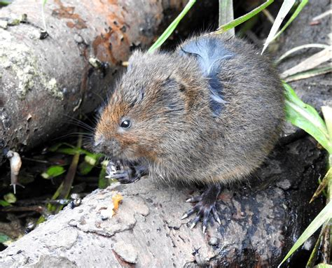 what is a vole about a brook first baby vole of the year