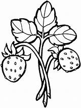 Strawberry Coloring Pages Berries Printable sketch template