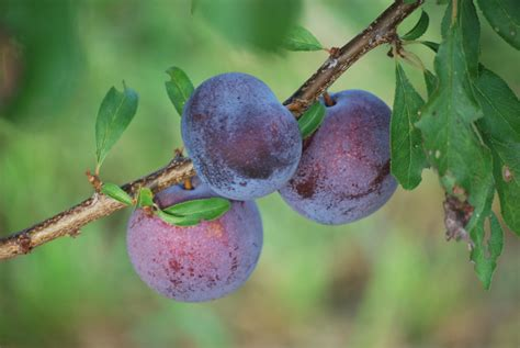Growing Plums From Pits
