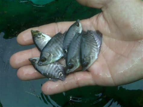 Bibit Ikan Gurame Salatiga jual bibit ikan gurame soang di lapak danny setia