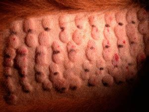 dermatology clinic  animals allergy testing