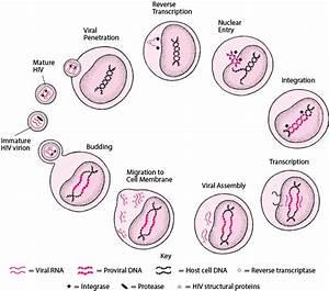 Human Immunodeficiency Virus  Hiv  Infection