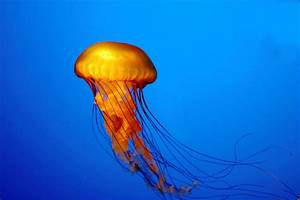 Jellyfish Underwater HD Wallpapers | HD Nature Wallpapers