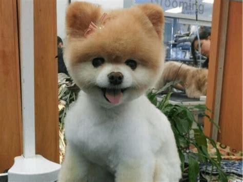Top 10 Pomeranian Haircut Ideas For 2018