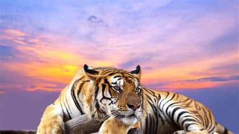 4k Wallpaper Animal - wallpaper tiger hd 4k animals 6507