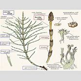 horsetail-plant-labeled