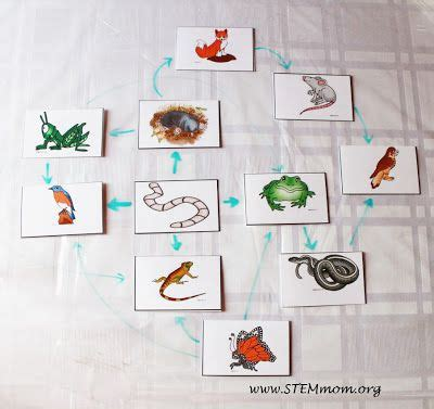 sample food web  food chain activity cards