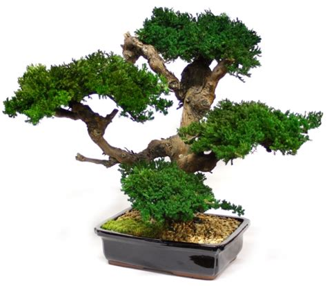 Plants For Bathroom With No Natural Light by Large Preserved Bonsai Tree Preserved Interiors