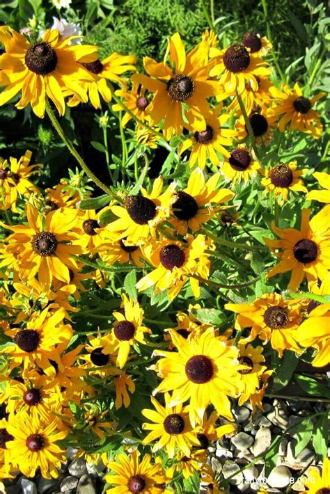 easy  grow perennial flowers  seed