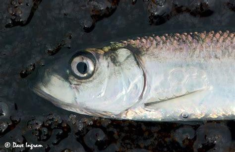 herring spawn heads