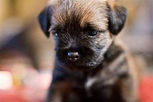 border terriers are so freakin cute! | Lovely Things ...