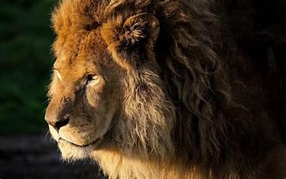 Lion Screensavers