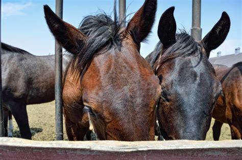 horse mating close horses stuck snout fence farm through mane animal head istockphoto