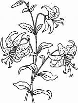 Coloring Lily Flower Pages Flowers Lilies Printable Kidsplaycolor Sheets Colouring Drawing Nature sketch template
