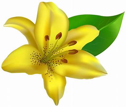 Yellow Clipart Lilium Lily Clip Transparent Jasmine