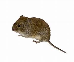 Unterschied Maus Ratte : rentokil sch dlingslexikon von hausmaus bis spitzmaus ~ Lizthompson.info Haus und Dekorationen