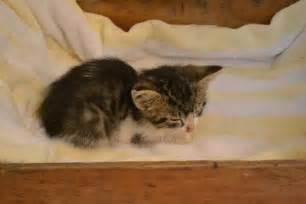 small cat breeds small cat breeds teacup kittens breeds picture