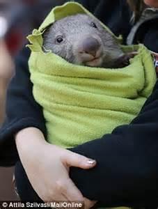 ringo  baby wombat lives  zookeeper  thinks