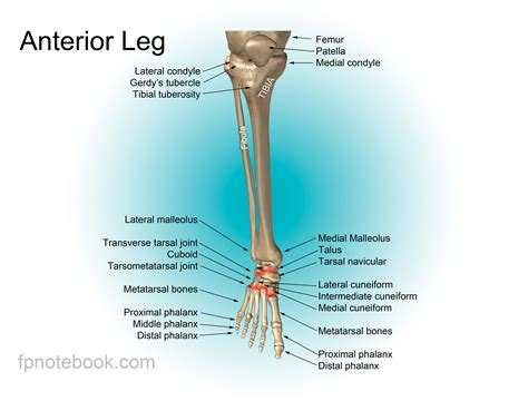 Lower body muscle anatomy for exercise. Foot Anatomy