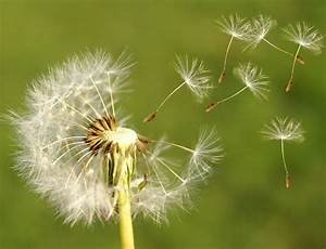 Pin Pusteblume on Pinterest