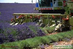 Lavendel Im Topf überwintern : melkstand abmessungen gr ser im k bel berwintern ~ Frokenaadalensverden.com Haus und Dekorationen