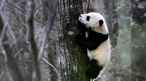 Panda Habitat Is Shrinking And Tourists Are Adding To The