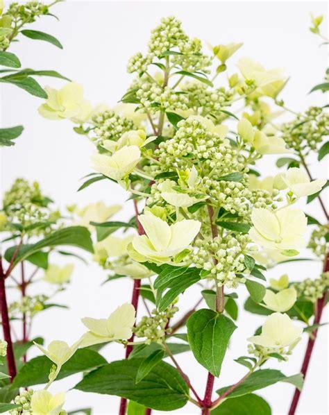 wims hortensie rispen hortensie wims hydrangea paniculata wims g 252 nstig kaufen