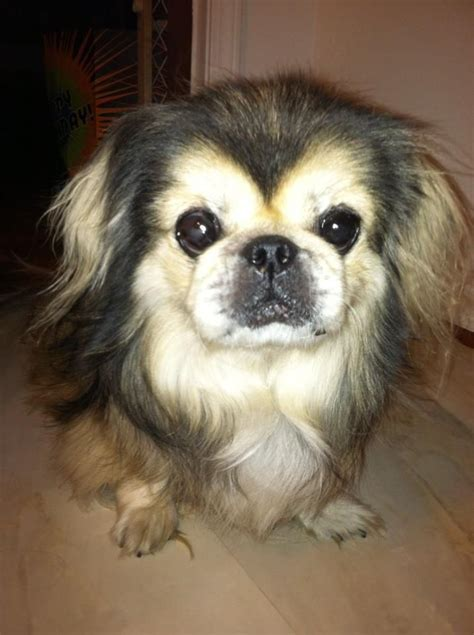 images  short hair chihuahua dogs  pinterest