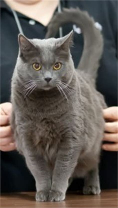 chartreux cat breed profile metaphorical platypus