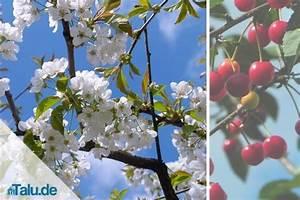 Wann Wird Lavendel Geschnitten : kirschbaum richtig schneiden anleitung f r ~ Lizthompson.info Haus und Dekorationen