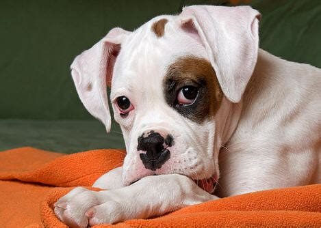 boxer dog perfect hd wallpapers    hd wallpapers