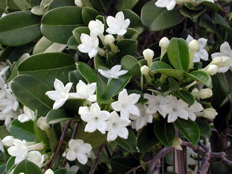 flower vines stephanotis by any other name is marsdenia hawaii horticulture