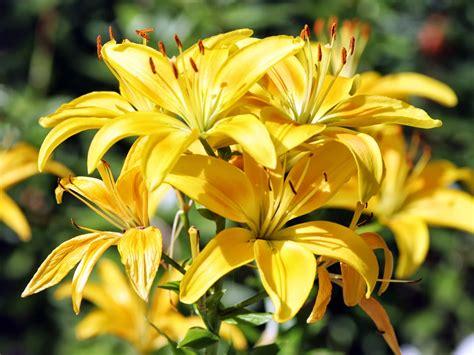wallpaper-post: วอลเปเปอร์ดอกไม้ สีเหลืองช่อใหญ่สวยๆ