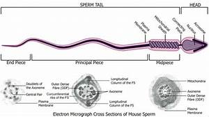 Spermatozoa Development