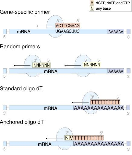 qpcr primer design bioinformatics bestkeeeper software gene