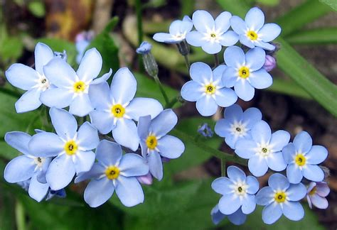 forget me not flowers forget me not naturally