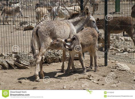 Donkey Family Stock Photo Image 61703242