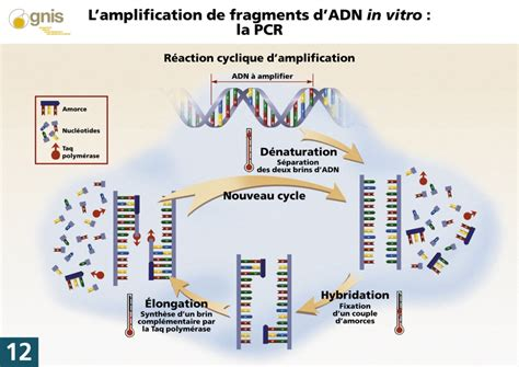bureau de la pcr amplification d 39 adn in vitro la pcr